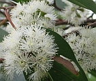 Stringybark flower